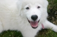 Great Pyrenees, 7 months, White